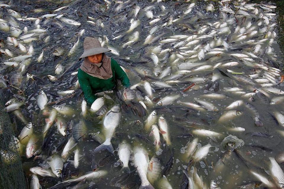 Ni se te ocurra comer un pescado llamado tilapia for Criaderos de pescados colombia