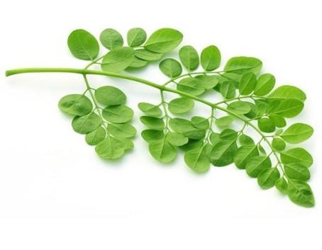 hoja-moringa-oleifera-600x467 2